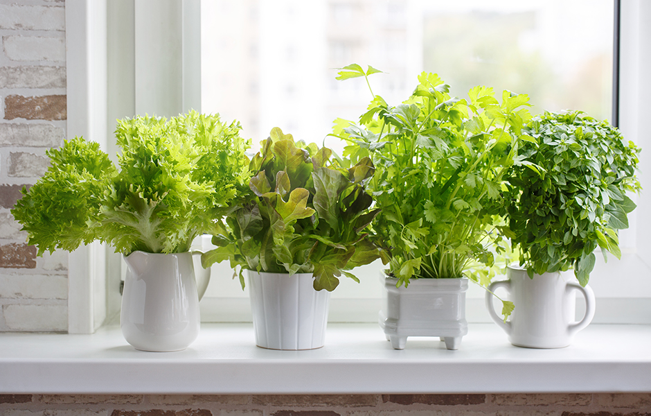 Four Herb Plants on Window Sill